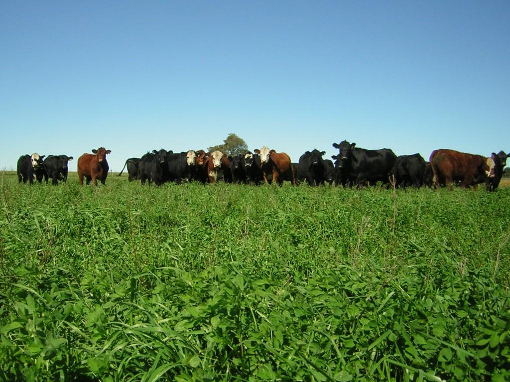 La emisión de gas metano, producto de los desechos de la digestión del alimento del ganado, es uno de los factores que contribuye al calentamiento global.