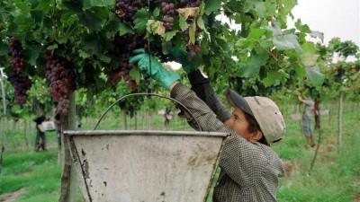 En San Juan, la falta de mano de obra retrasa la cosecha de uvas