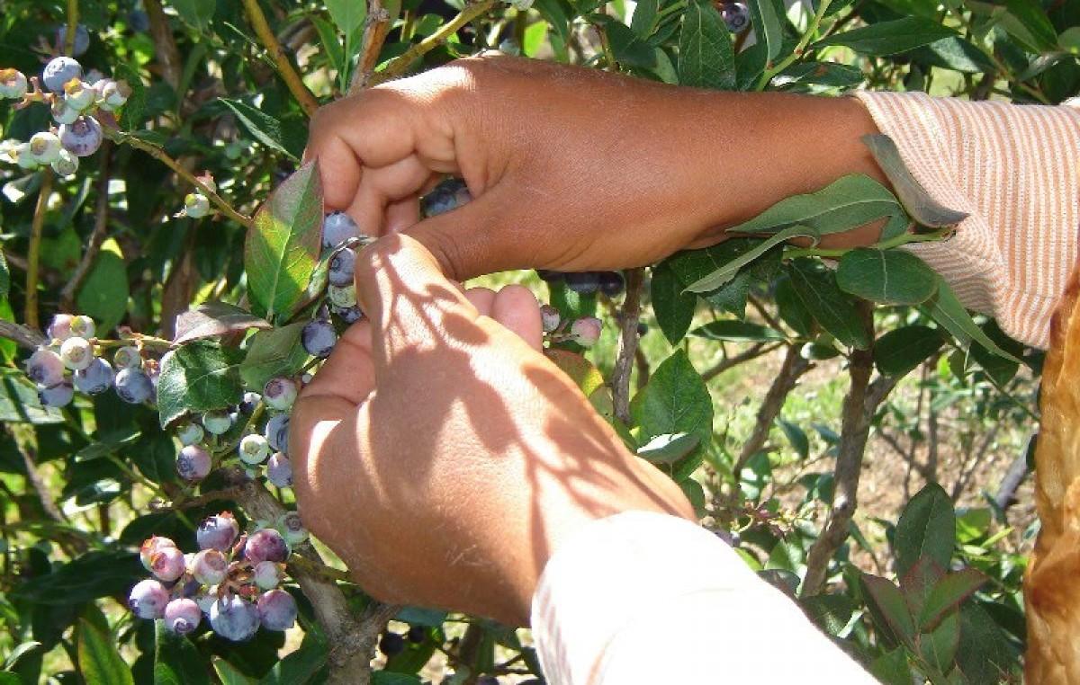 Entre Ríos: Más de 10 mil personas serán contratadas para la cosecha 2014 de arándanos
