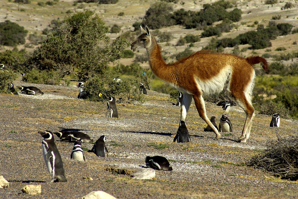 Penguins_and_Guanaco