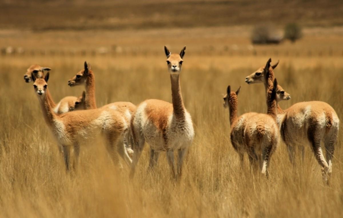 Promueven en la Puna jujeña el uso sustentable de la fibra de vicuñas