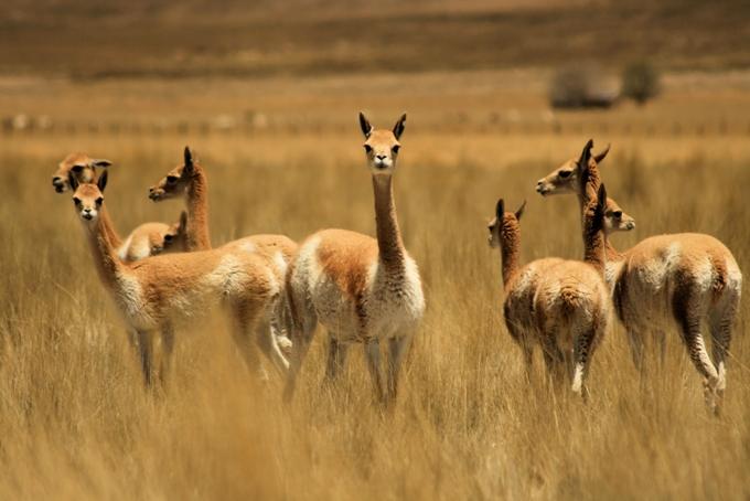 vicuñas-1