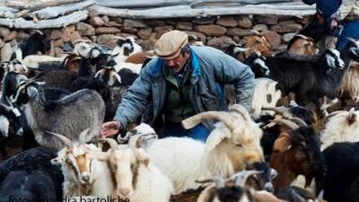 Productores de Comallo y Jaccobacci recibieron casi 2 mil cabras criollas