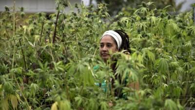 Uruguay producirá seis toneladas de marihuana legal por mes a 1,40 dólares el gramo