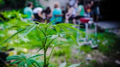 Municipio bonaerense quiere producir marihuana legal