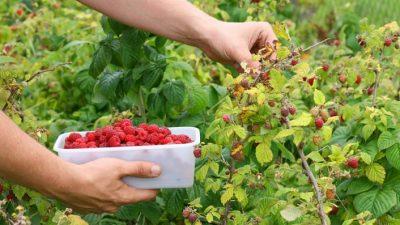 Apertura importaciones: 150 mil kilos de fruta fina en las cámaras de frío
