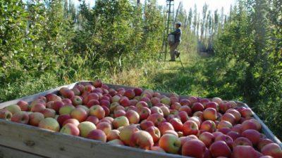 Crisis frutícola en Río Negro: cada vez menos chacras en producción