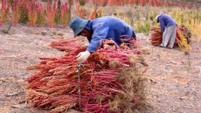 Impulso a la cadena de valor de la quinoa puneña
