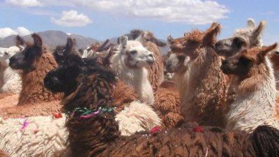 Jujuy: Más de $ 2 millones para acopio de fibra de llama