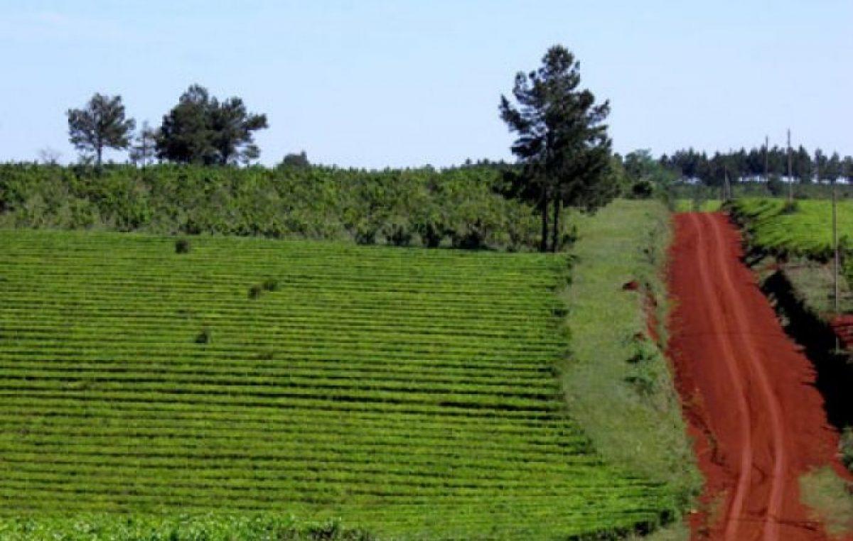 Rutas y secretos de la yerba mate en Misiones
