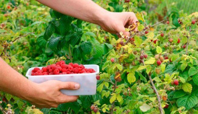 El Bolsón quiere comercializar su fruta fina en los Emiratos Árabes Unidos