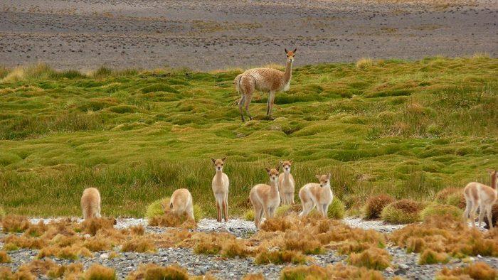 San Guillermo, tierra de vicuñas y guanacos