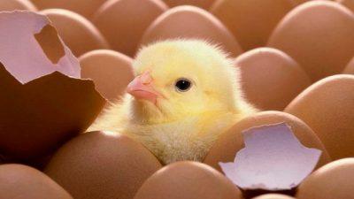 """Crisis en el sector avícola: """"Estamos achicándonos y desarmando inversiones para no desaparecer"""""""