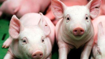 Ganó el lobby de Trump: Argentina importará carne de cerdo de Estados Unidos