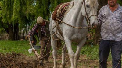 Don Vazquez no deja de arar la tierra y sembrar maíz en el norte neuquino