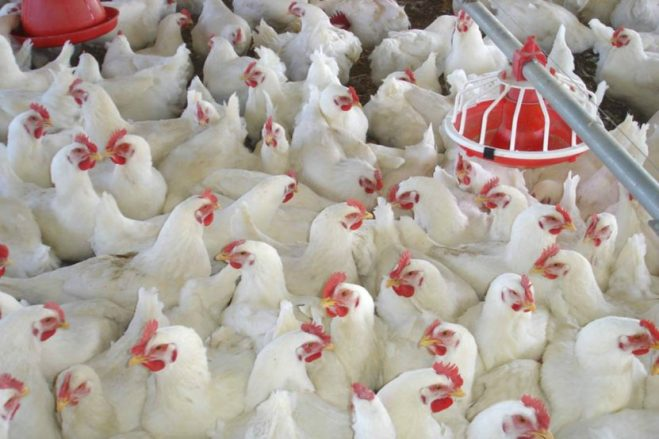 Los costos y la pérdida de competitividad jaquean a la avicultura