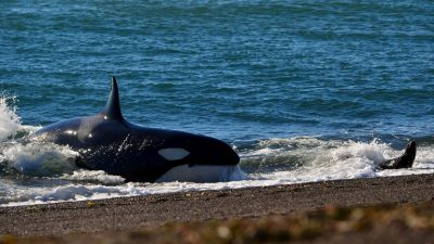Mundo Orca