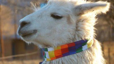 XXI Expo Feria de Reproductores Camélidos y Ovinos y la XIV Feria de Agricultores y Artesanos Andinos en el pueblo La Intermedia