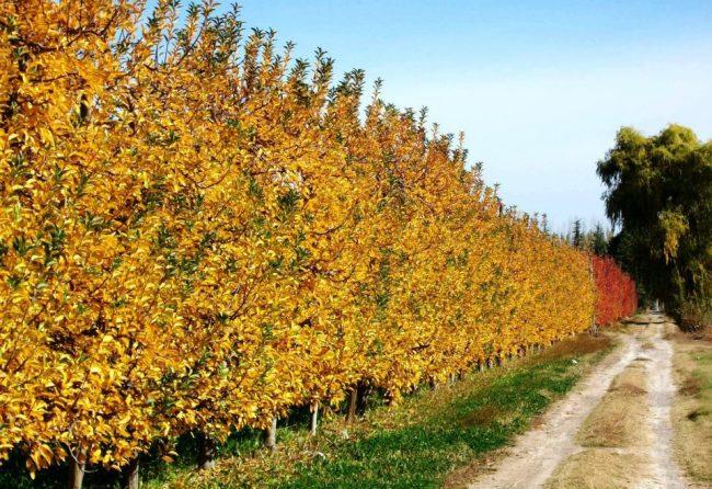 Cipolletti: Denuncian que aumentó el abandono de chacras