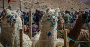 Pastos Grandes, de fiesta por la VI Feria de la Llama
