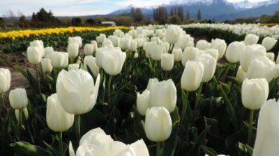 Se viene la época de tulipanes en Trevelin