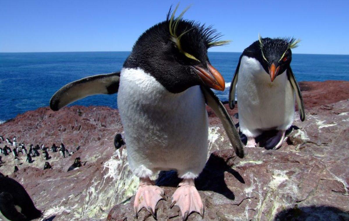 Llegaron los pingüinos de Penacho Amarillo a Puerto Deseado