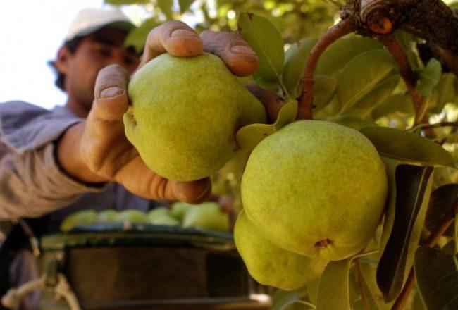 Productores del Alto Valle no adhieren al paro del campo y criticaron a dirigentes de ese sector