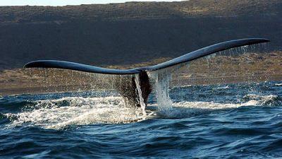 Llegaron las ballenas a Chubut, pero no habrá quién las mire