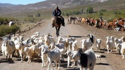 Provincia de Neuquén compra chivos para incentivar a los crianceros