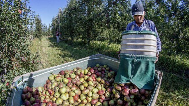 Llegan a Neuquén y Río Negro 30.000 golondrinas para la cosecha en plena pandemia