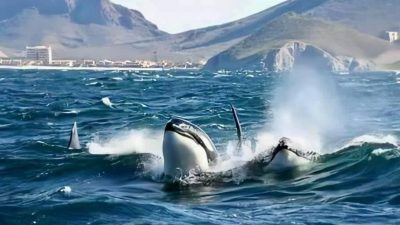 El 16 de marzo inicia la temporada de Orcas