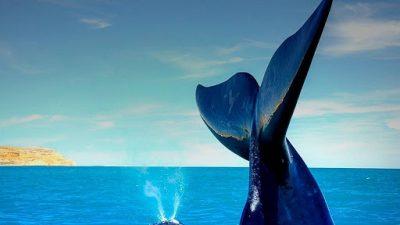 Comenzó la temporada de ballenas en Península Valdés