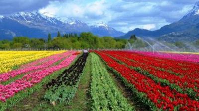 Se espera la temporada de tulipanes en Trevelin