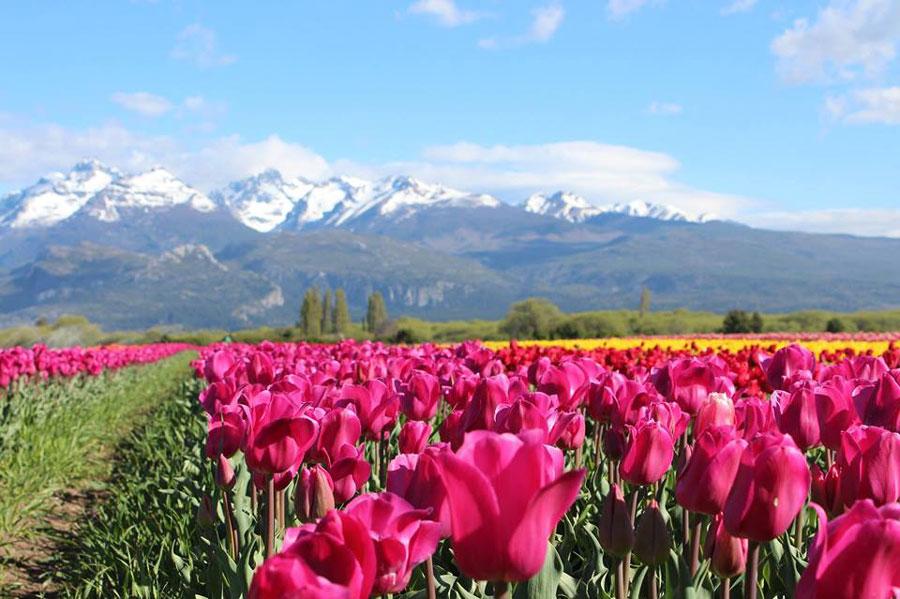 Los tulipanes de Trevelin: Un tapiz de colores al pie de la cordillera